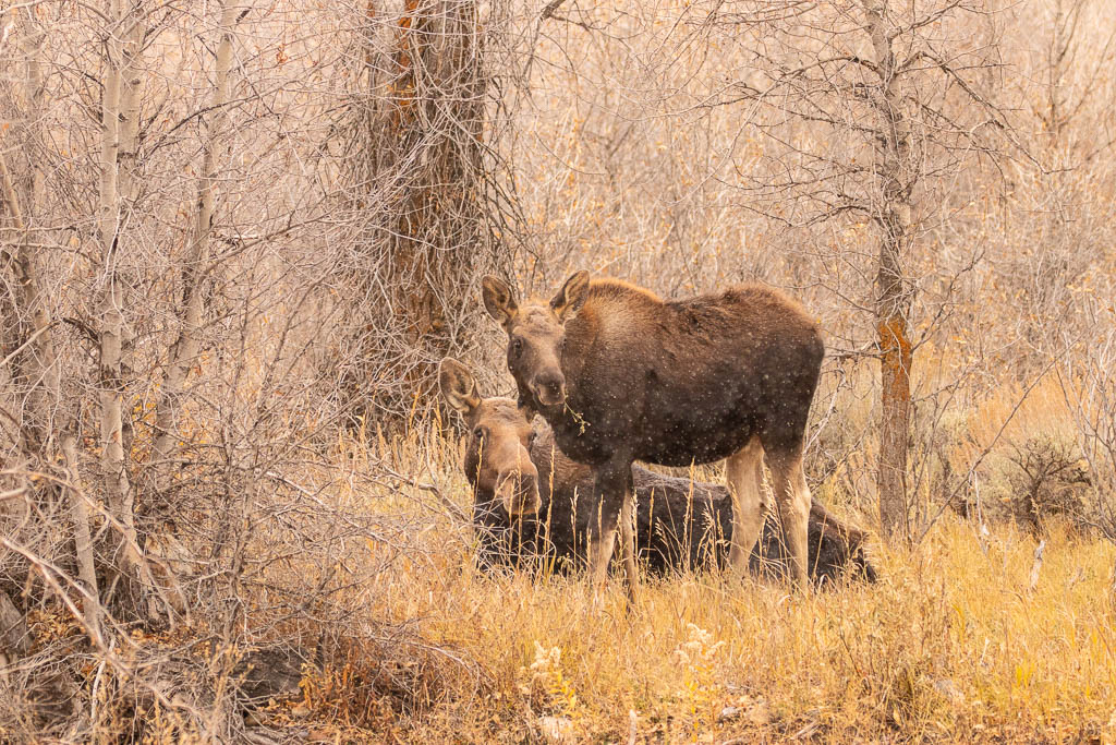 Cow and calf at Gros Ventre